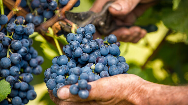 vineyard-labor